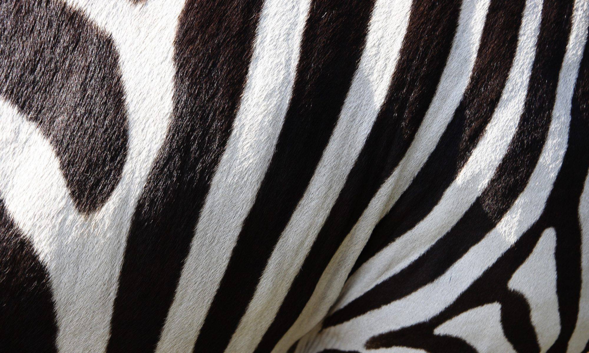 Fat Zebra Theory